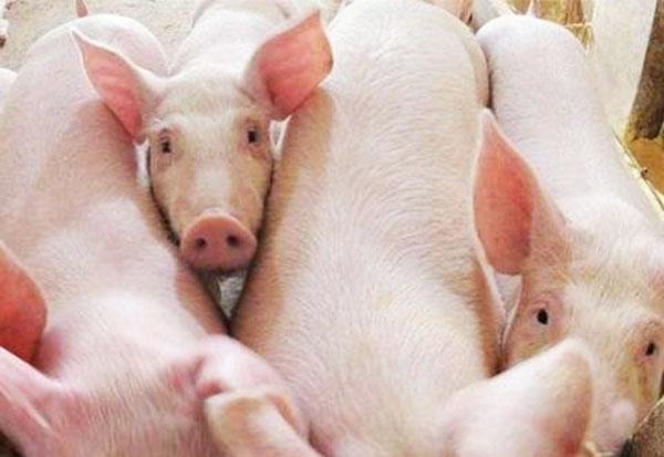 全国新增两万多养猪场,智能化养殖成为新趋势